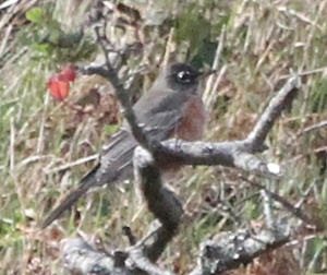 American Robin Millcombe 26Oct2018 Paul Holt