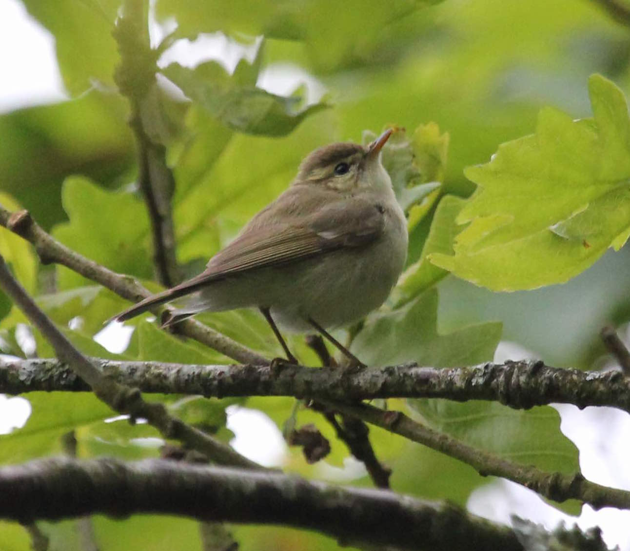 Greenish Warbler Lundy 05Jun2016 Richard Taylor