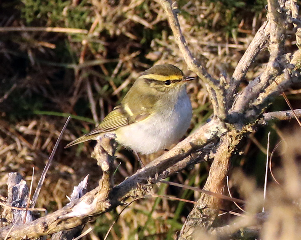 Pallass Warbler Rocket Pole 25Oct2016 Simon Slade