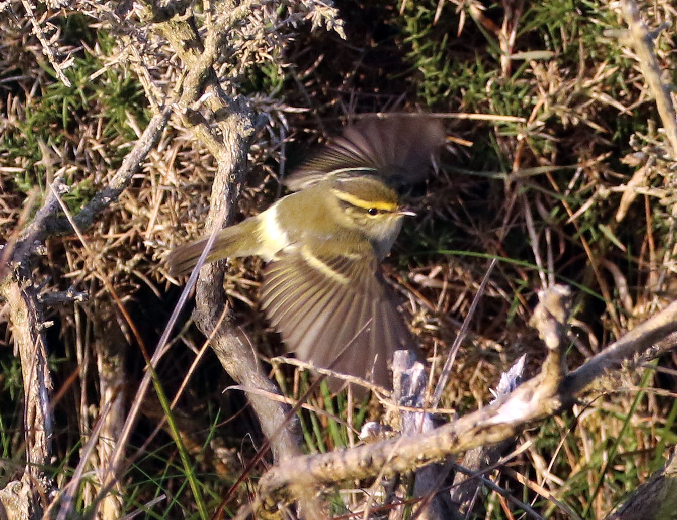Pallass Warbler in flight Rocket Pole 25Oct2016 Simon Slade