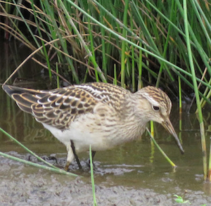 Pectoral Sandpiper Quarters Pond 13Sep2018 Tim Jones