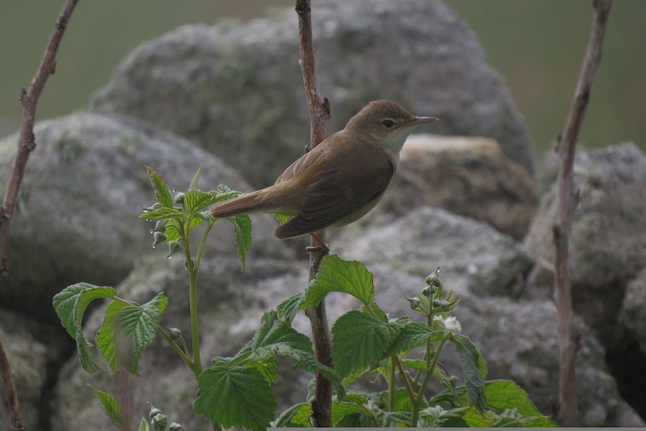 Reed Warbler Lundy 08Jun2016 Tim Jones